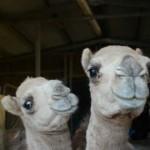 camels_201aa